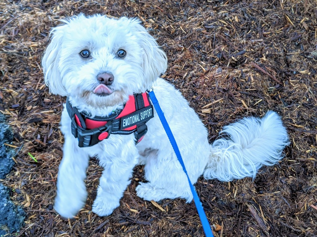 Small white dog with red Emotional Support Animal harness